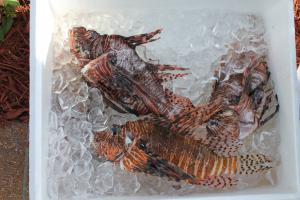 Invasive lionfish speared and placed on ice, ready to be filleted and cooked. Credit: C. Wilcox.