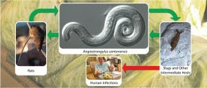 UH Plays Significant Role in the Battle Against Rat Lungworm