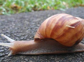 Lissachatina fulica, giant African snail. Photo credit: R. Rollins