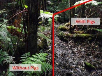 UH Mānoa studies examine how feral pigs impact Hawai'i's forest ecosystems