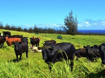 UH has beef with Wagyu reproductive rates
