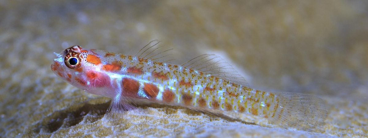 A spotted dwarfgoby perches on a coral head. Credit: Tane Sinclair-Taylor