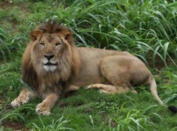 Honolulu Zoo bids aloha to Ekundu the African lion